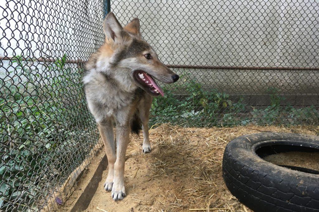 """Duits dorp schiet met rubberkogels op wolven: """"Ze komen dicht bij onze huizen"""""""