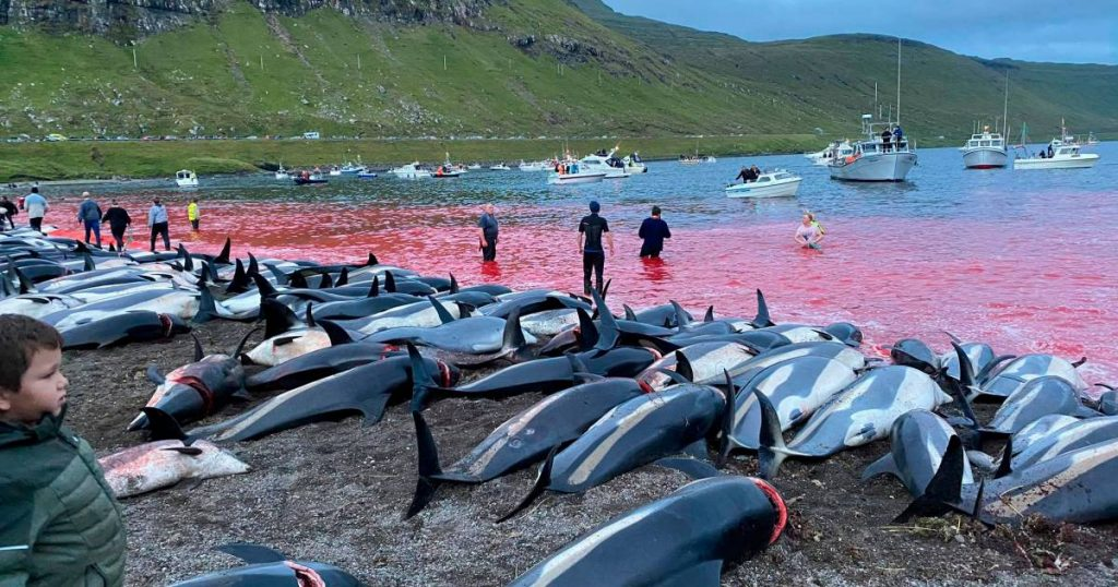 1,428 dolphins were killed in the name of tradition in the Faroe Islands |  the animals
