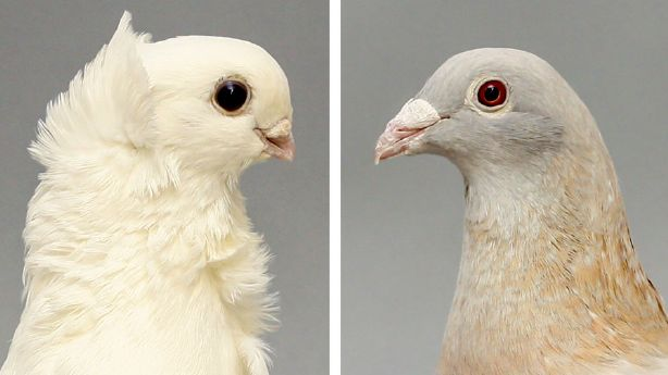 Researchers in the United States claim that Darwin's dove is beyond mystery