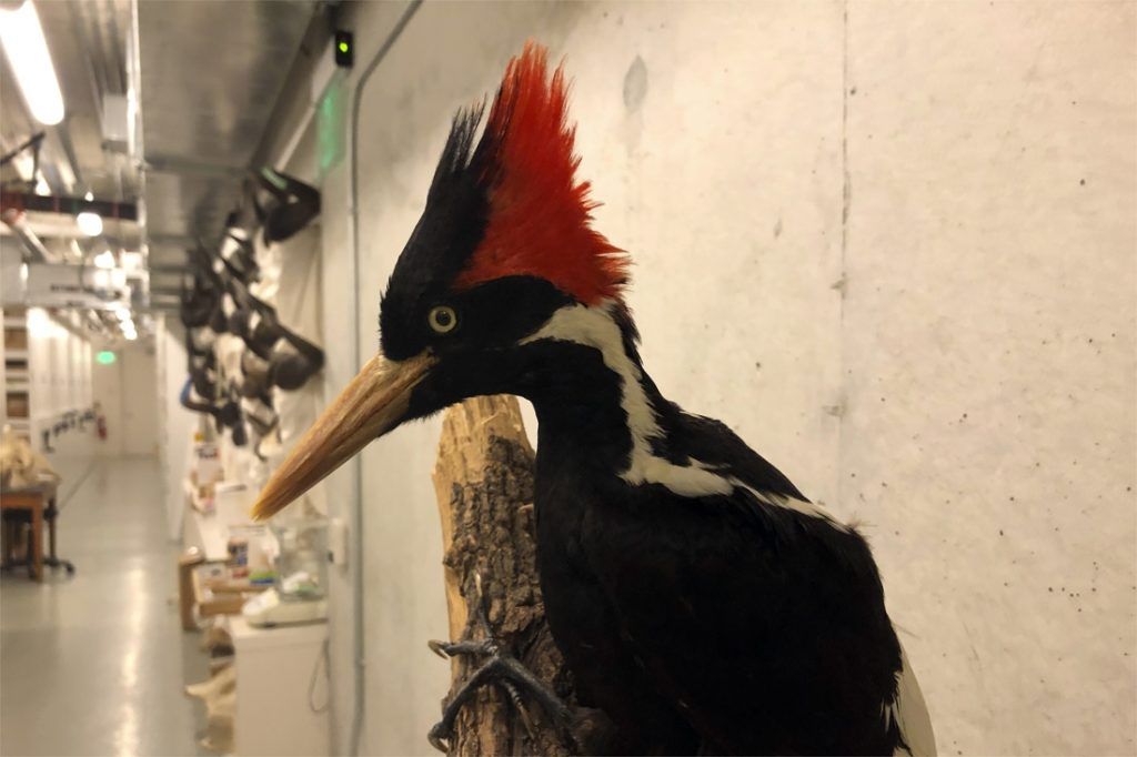 The United States says goodbye to the large ivory-billed woodpecker and 22 other species
